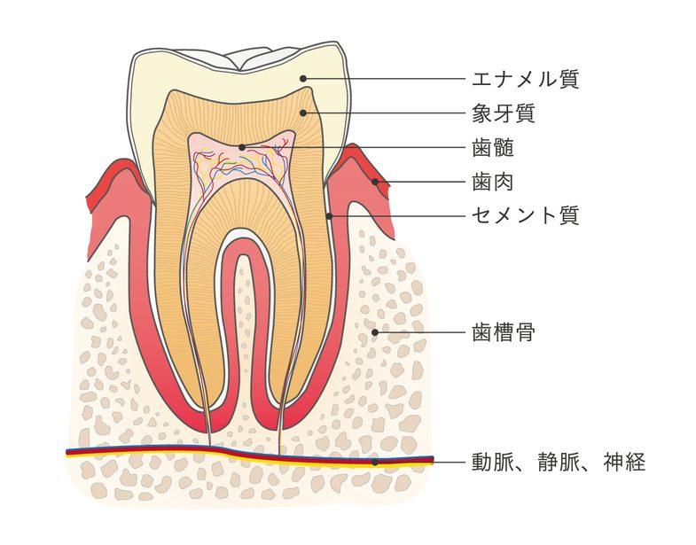 歯の構造|仙台市青葉区の山下歯科クリニック